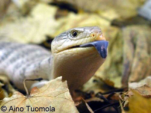 Blue tounged skink from Tanimbar