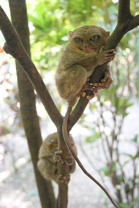 Tarsiers tree-climbing