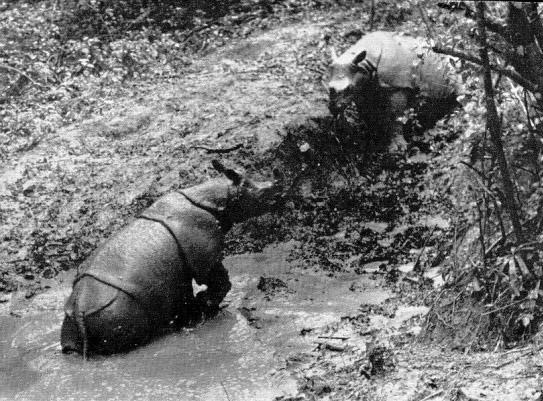Javan rhino in Ujung Kulon, 1930