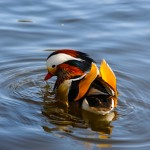 Mandarin Duck in Mosvannet lake, Stavanger, Norway