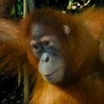 A young Orangutan in Bukit Lawang, Sumatra Indonesia