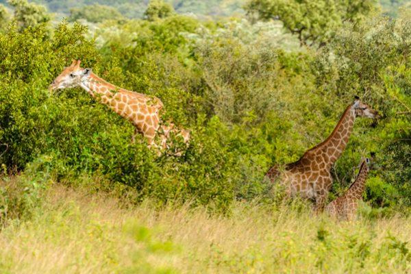 Giraffe – The Cameleopard