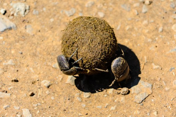 The dung rolling scarab beetles