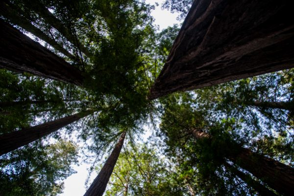 Redwood forests – the natural cathedrals