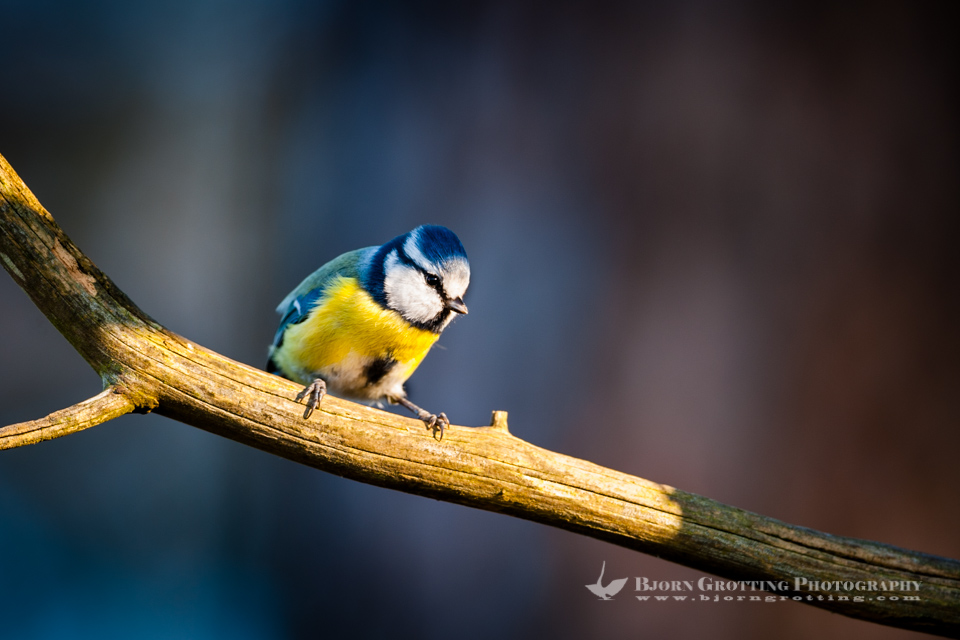 Blue tits are common throughout temperate and subarctic Europe and western Asia. Stavanger, Norway.