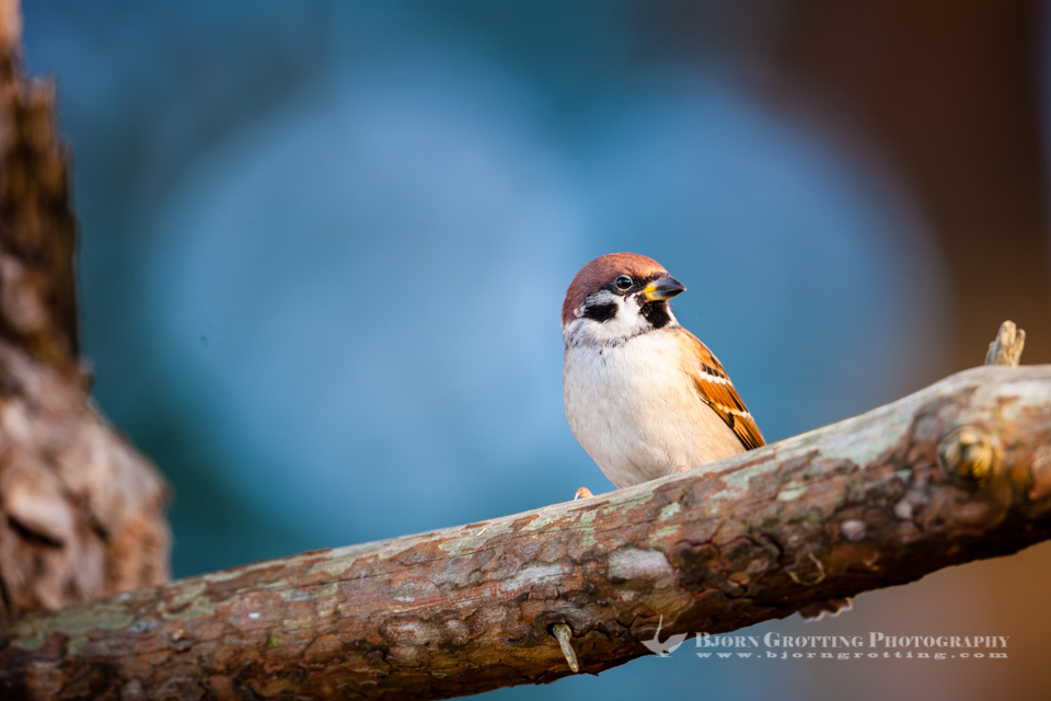 The Eurasian Tree Sparrow breeds over most of temperate Eurasia and Southeast Asia. Stavanger, Norway.