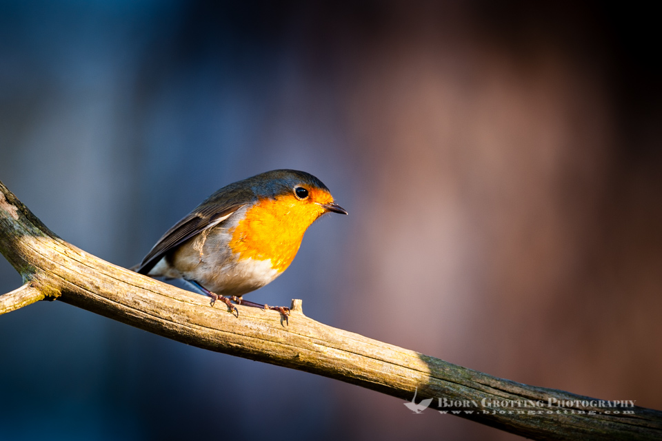 The European Robin is found across Europe, east to Western Siberia and south to North Africa. Stavanger, Norway.