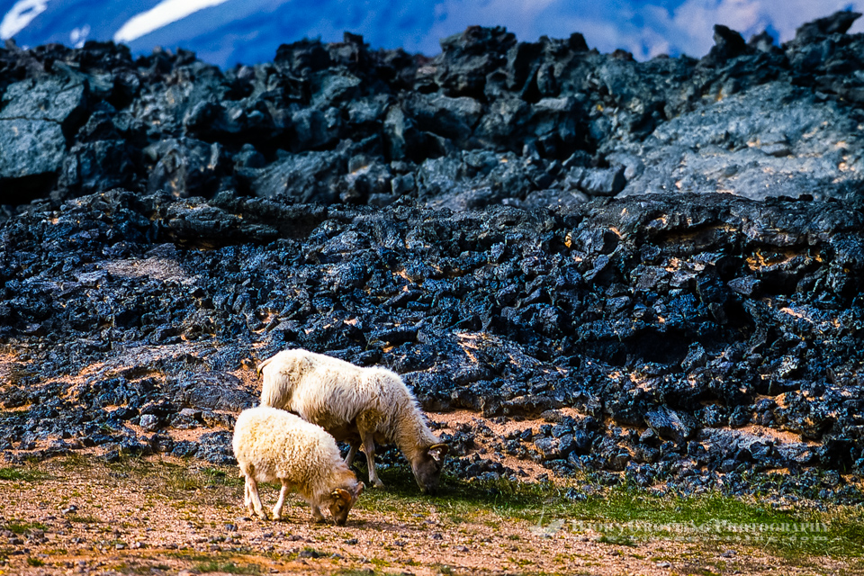 Iceland. Sheep gracing in volcanic landscape at the Krafla caldera.