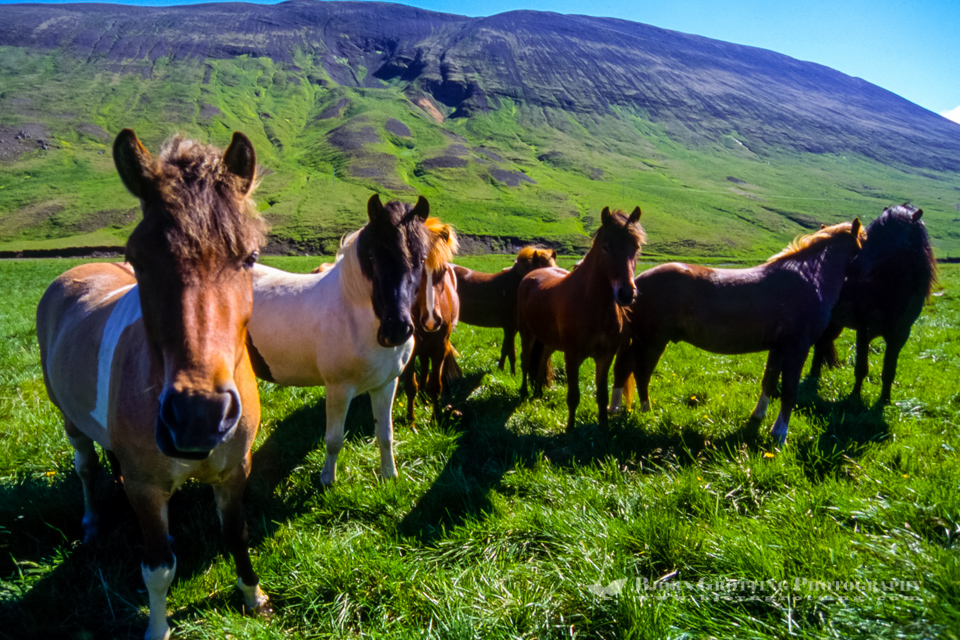 Icelandic horses at Laxardal. This is a breed  of horse  evolved only on Iceland.