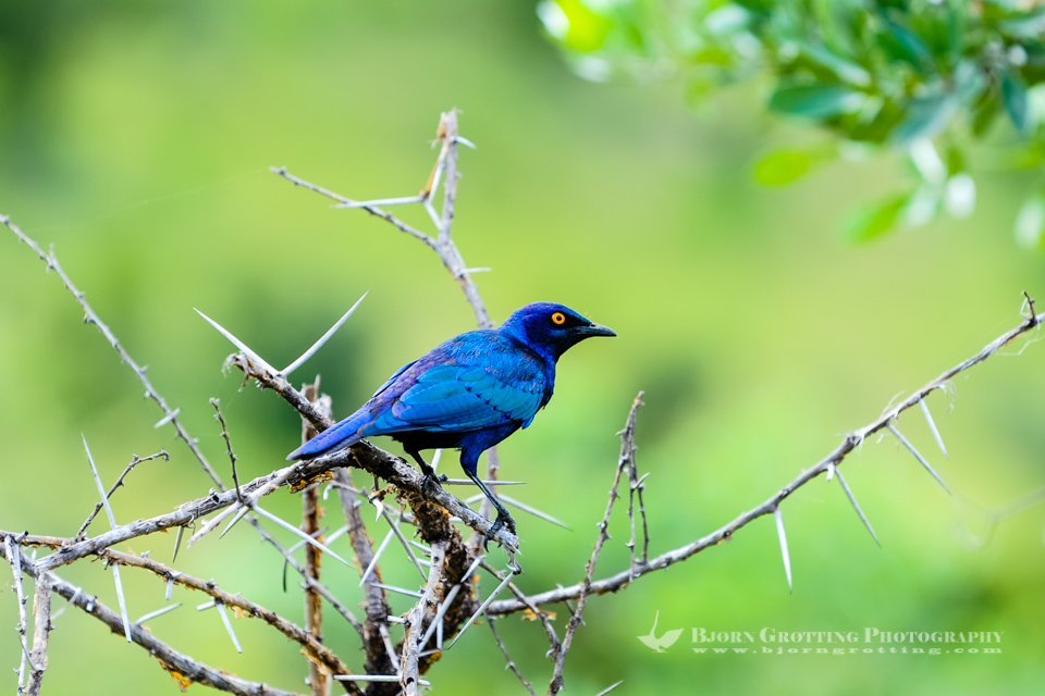 A Burchell's Glossy-starling in a tree. Kruger National Park, South Africa.