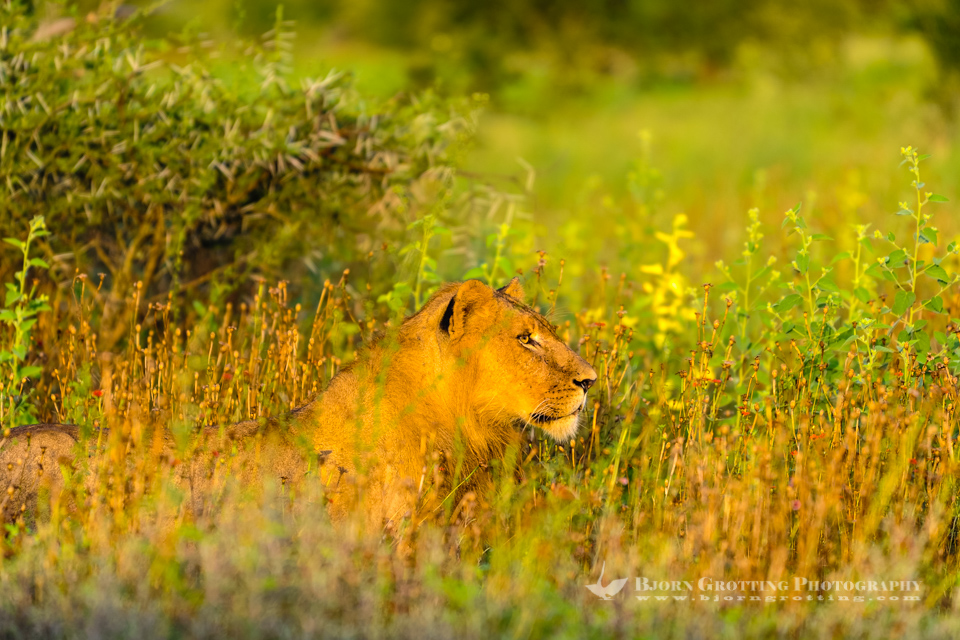 Lioness in the morning sun in Kruger National Park, South Africa.