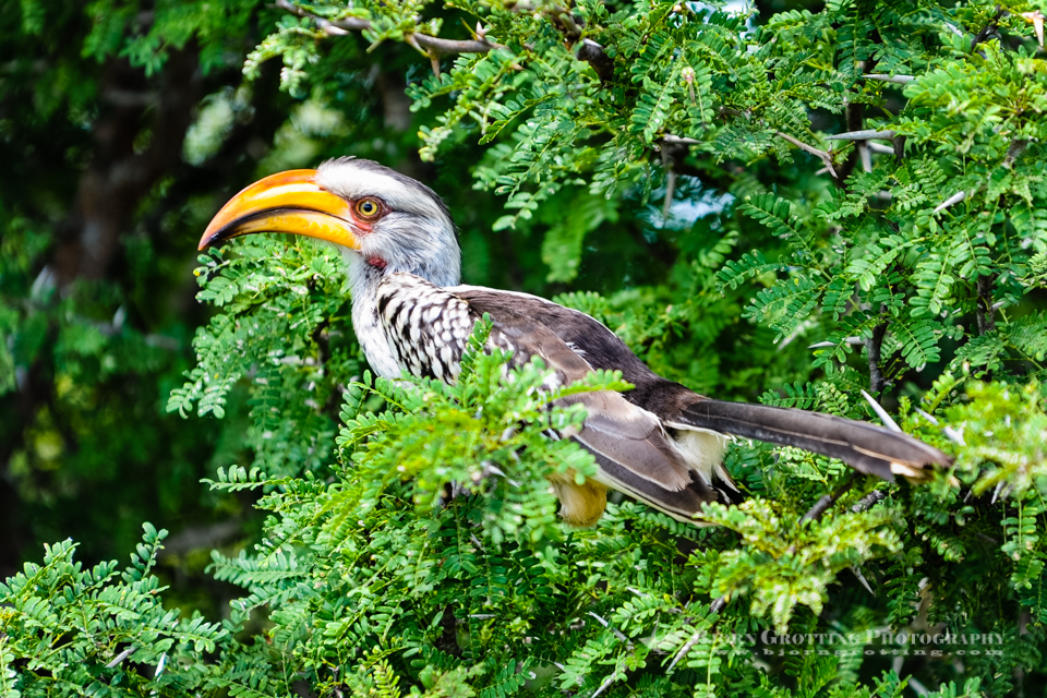 The Southern Yellow-billed Hornbill is a Hornbill found in southern Africa. Kruger National Park.