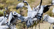 Lake Hornborga Crane dance